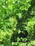 Manojos de uvas verdes Foto de archivo libre de regalías