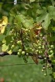 Manojos de uvas verdes Fotos de archivo libres de regalías