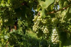 Manojos de uvas verdes en el viñedo Imágenes de archivo libres de regalías