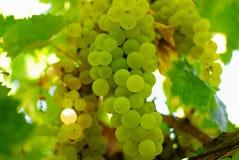 Manojos de uvas verdes, en luz ambiente. Foto de archivo libre de regalías