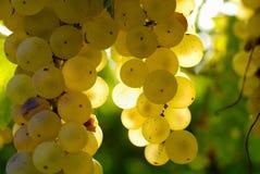 Manojos de uvas verdes, en luz ambiente. Fotografía de archivo