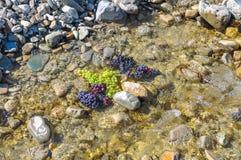Manojos de uvas verdes y negras en una cala rocosa Fotografía de archivo libre de regalías