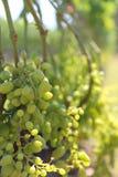 Manojos grandes de uvas del vino blanco Foto de archivo libre de regalías