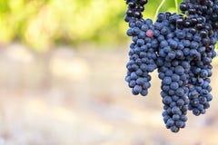 Manojos grandes de uvas negras perfectas excéntricas con el fondo caliente borroso del viñedo imagenes de archivo