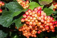 Manojos grandes de viburnum rojo fotografía de archivo