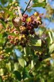 Manojos inmaduros de los chokeberries (Aronia) Fotos de archivo libres de regalías