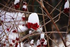 Manojos rojos de serbal Foto de archivo libre de regalías