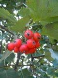 Manojos rojos y anaranjados del otoño de serbal Imagen de archivo libre de regalías