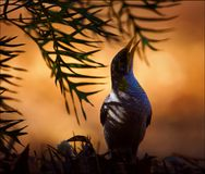 Manorina. Silhouette of a bird to a burning branch lit up by a rising sun Stock Photos