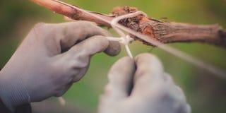 Manos con guantes El cultivar un huerto en el jard?n de la primavera imagenes de archivo