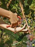 Manos con las uvas del cristiano de una cosecha de la pulsera Fotos de archivo libres de regalías