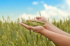 Manos con los oídos del trigo Foto de archivo libre de regalías