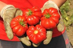 Manos con los tomates Fotografía de archivo