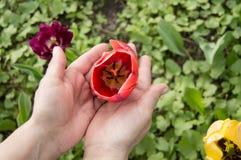 Manos con los tulipanes en sus manos, cerca de muchos tulipanes multicolores hermosos Imagen de archivo