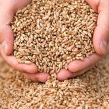 Manos con un grano del trigo Imágenes de archivo libres de regalías