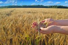 Manos con un grano en el campo de trigo Foto de archivo libre de regalías