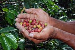 Manos de granja colombianas del café