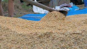 Manos de la cámara lenta del arroz seco de la naturaleza de la cosecha de la mujer de la granja almacen de video
