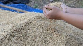 Manos de la cámara lenta del arroz seco de la naturaleza de la cosecha de la mujer de la granja almacen de metraje de vídeo