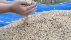 Manos de la cámara lenta del arroz seco de la naturaleza de la cosecha de la mujer de la granja metrajes
