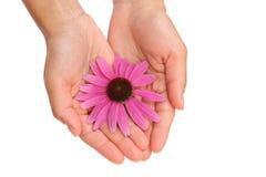 Manos de la flor del Echinacea de la explotación agrícola de la mujer joven Fotografía de archivo libre de regalías
