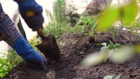 Manos de la mujer en los guantes de goma azules que plantan almácigos en el suelo en jardín del patio trasero cerca de casa priva metrajes