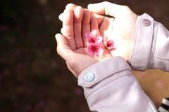 Manos de la mujer que sostienen las flores de Sakura o de la flor de cerezo Fotos de archivo libres de regalías