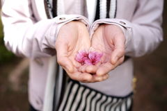 Manos de la mujer que sostienen las flores de Sakura o de la flor de cerezo Imagen de archivo