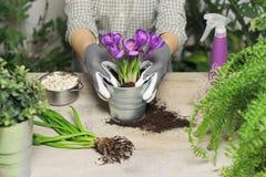 Manos de las mujeres que plantan la flor en pote imagen de archivo