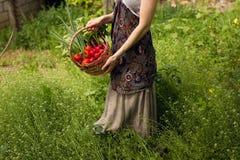 Manos de las mujeres que sostienen una cesta por completo de verduras en el jardín imágenes de archivo libres de regalías