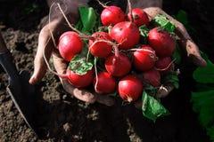 Manos de los granjeros con el rábano recién cosechado Imagenes de archivo