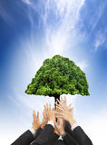 Manos de los hombres de negocios que sostienen el árbol viejo verde Fotografía de archivo
