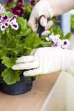 Manos de los jardineros que plantan las flores en el patio trasero Foto de archivo libre de regalías