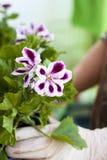Manos de los jardineros que plantan las flores en el patio trasero Imágenes de archivo libres de regalías