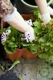 Manos de los jardineros que plantan las flores en el patio trasero Foto de archivo