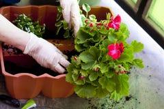 Manos de los jardineros que plantan las flores en el patio trasero Imagen de archivo libre de regalías