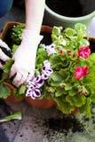 Manos de los jardineros que plantan las flores en el patio trasero Fotografía de archivo libre de regalías