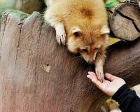Manos de un mapache y de un ser humano Fotos de archivo libres de regalías