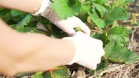 Manos de una mujer en los guantes de goma que recoge las fresas en el jardín cosecha metrajes