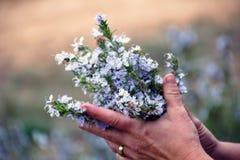 Manos de una mujer que lleva a cabo a un manojo de Rosemary fresca imagen de archivo libre de regalías