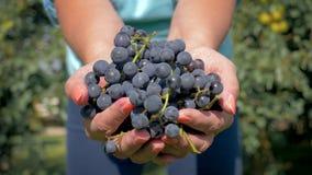 Manos del agrónomo del granjero que llevan a cabo el puñado de demostraciones negras maduras de las uvas en la cámara almacen de video