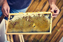 Manos del apicultor que llevan a cabo el marco de la colmena con las abejas Imagen de archivo