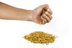 Manos del arroz en un fondo blanco Imagenes de archivo