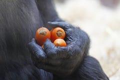 Manos del gorila que sostienen un manojo de zanahorias imagenes de archivo