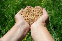 Manos del granjero del trigo Fotos de archivo
