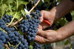 Manos del granjero que recogen las uvas negras Imagen de archivo
