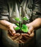Manos del granjero que sostienen una plántula verde Imagen de archivo