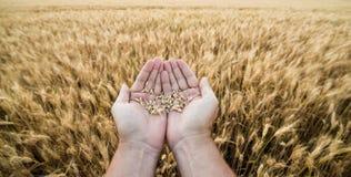 Manos del grano-cultivador contra un campo de trigo Imágenes de archivo libres de regalías