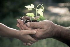 Manos del hombre mayor y del bebé que sostienen una planta Fotos de archivo libres de regalías