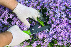 Manos del hombre que cortan malas hierbas en flores. Foto de archivo libre de regalías